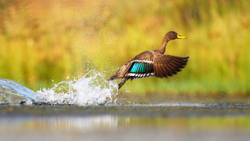 Yellow-billed,Duck,Taking,Off,From,Water,,South,Africa